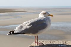 Seagull na ?cianie fotografia royalty free