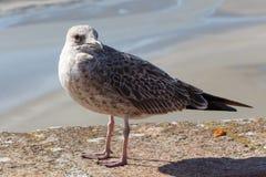 Seagull na ?cianie zdjęcie stock