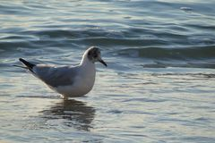 Seagull na Czarnym morzu, Odessa plażą zdjęcie stock
