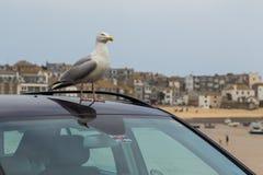 Seagull na dachu samochód zdjęcia stock