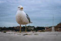 Seagull na dachu Watykan zdjęcia stock