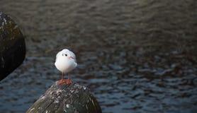 Seagull na drewnianym bagażniku zdjęcie royalty free