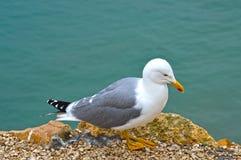Seagull na falezy zbliżeniu zdjęcie royalty free