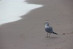 Seagull na Floryda plaży Fotografia Stock