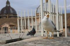Seagull na górze San Pietro kopuły, watykan Obraz Stock