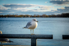 Seagull na Harbourfront, Toronto -, Ontario, Kanada Obraz Stock