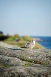 Seagull na kamienia wybrzeżu Zdjęcia Stock