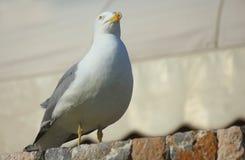 Seagull na kamieniach zdjęcie stock