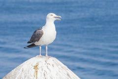 Seagull na kamieniu fotografia royalty free