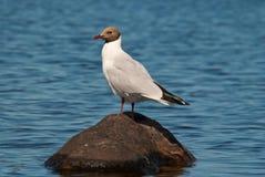 Seagull na kamieniu. Obraz Stock