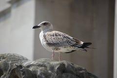 Seagull na lew głowie Obraz Stock