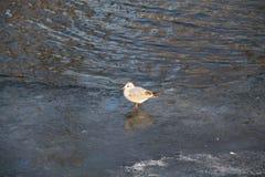 Seagull na lodzie Zdjęcia Stock