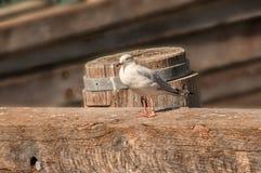 Seagull na nabrzeżu obraz stock