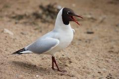 Seagull na piasku Obrazy Stock