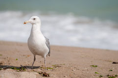 Seagull na plaży Obrazy Stock