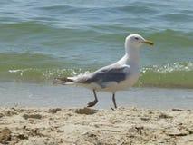 Seagull na plaży przeciw morzu zdjęcie stock