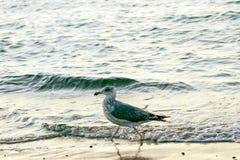 Seagull na plaży Warnemuende Zdjęcia Royalty Free