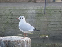 Seagull na quay Obrazy Royalty Free