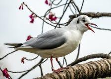 Seagull na Sakura drzewie zdjęcie stock
