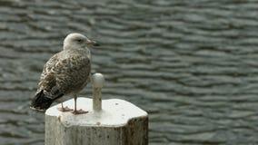 Seagull na schronienie słupie zdjęcie wideo
