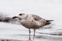 Seagull na Seashore Zdjęcie Royalty Free