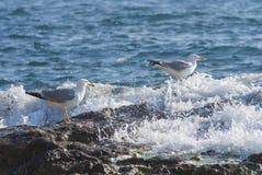 Seagull na skałach szorstka linia brzegowa Fotografia Royalty Free