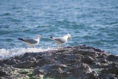 Seagull na skałach szorstka linia brzegowa Obrazy Stock