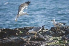 Seagull na skałach szorstka linia brzegowa Fotografia Stock