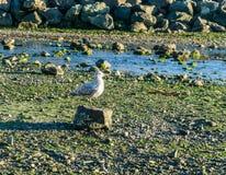 Seagull na skale zdjęcie royalty free