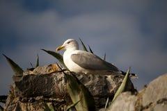Seagull na skale Obraz Royalty Free