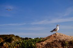 Seagull na skale Zdjęcia Royalty Free