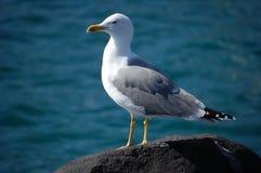 Seagull na skale Obrazy Royalty Free