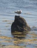 Seagull na skale Zdjęcie Stock