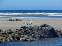 Seagull na skale na północnego zachodu Oregon wybrzeża plaży obraz royalty free