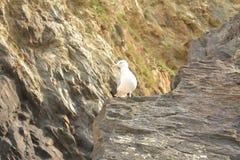Seagull na skale przy plażą obraz royalty free