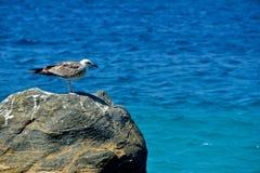 Seagull na skale fotografia stock