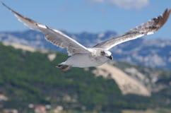 Seagull na tle góry Obrazy Royalty Free