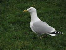Seagull na trawie obrazy stock