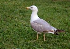 Seagull na trawie zdjęcia royalty free