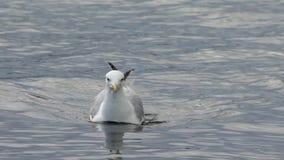 Seagull na wody 100 fps hd zbiory wideo