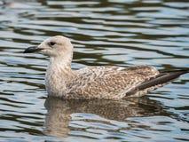 Seagull na wodzie 01 Zdjęcie Royalty Free