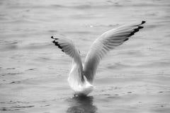 Seagull na wodzie zdjęcie stock
