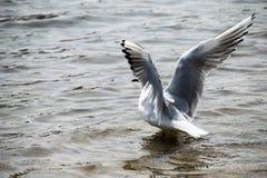 Seagull na wodzie Obraz Royalty Free