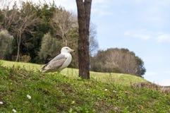 Seagull na wzgórzu Zdjęcie Stock