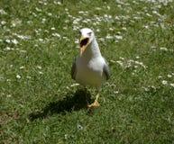 Seagull na zielonej trawie Fotografia Stock
