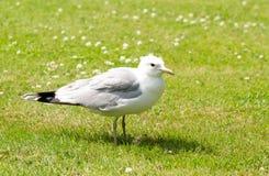 Seagull na ziemi Obraz Stock