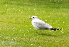 Seagull na ziemi Zdjęcie Stock