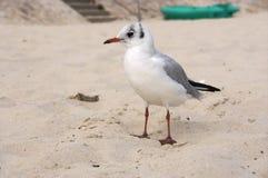 Seagull nad piaskiem zdjęcie stock
