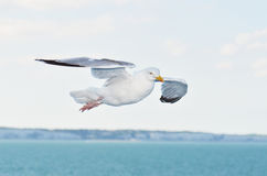Seagull in nature in flight. Wild dove in nature in flight from the side Royalty Free Stock Photo
