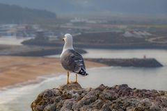 Seagull of the Nazaré of Portugal stock photo